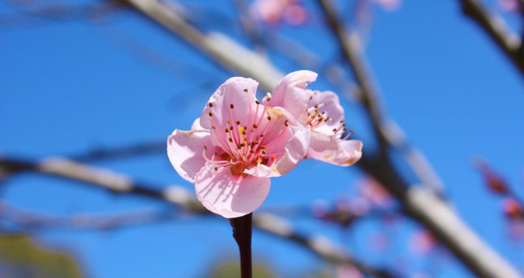 roze bloem is aan het bloeien