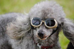 hond-zonnebril