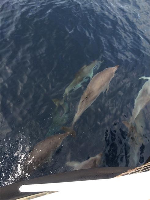 dolfijnen zwemmen in de zee bij Fuerteventura