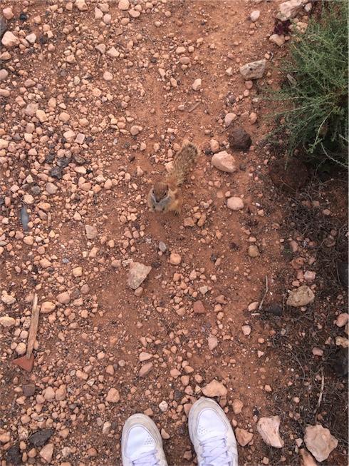 grondeekhoorn op Fuerteventura