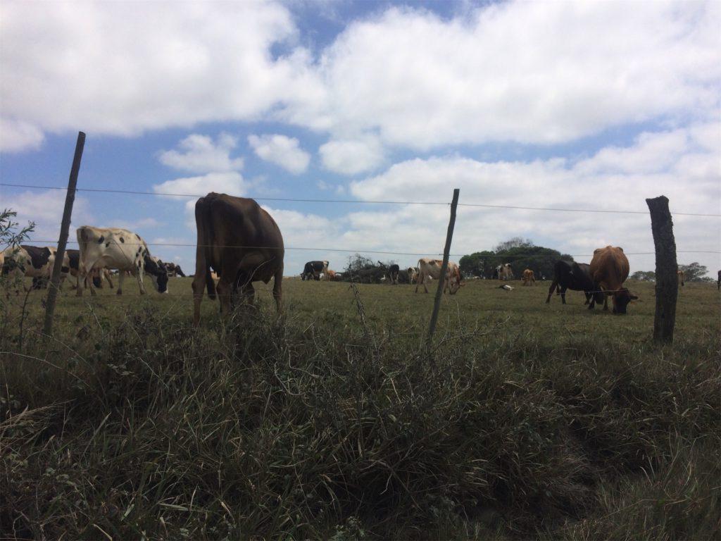 koeien en ooievaars staan in het weiland in Zuid-Afrika