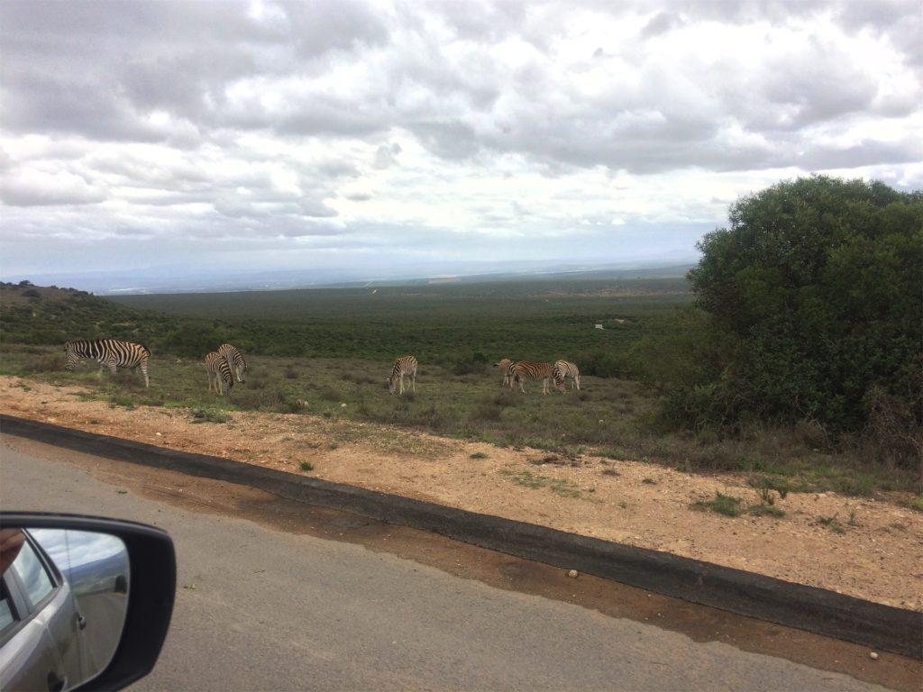 zebra's in Addo Elephant park