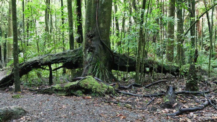 boom bij de mangakara nature walk