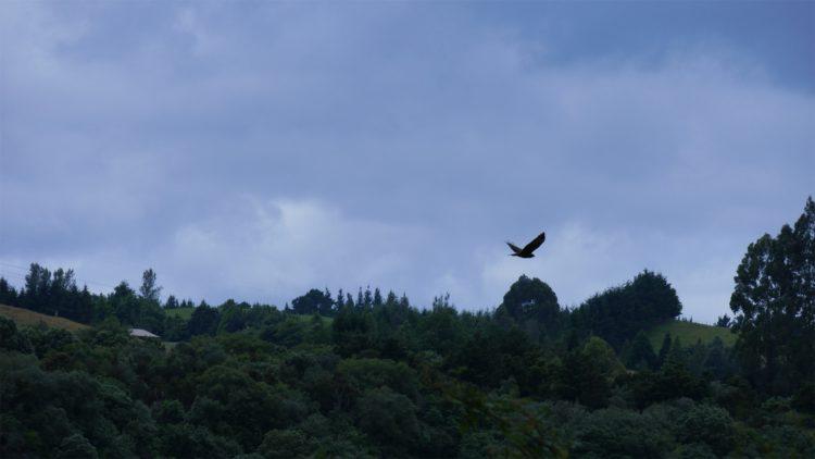 roofvogel Nieuw-Zeeland