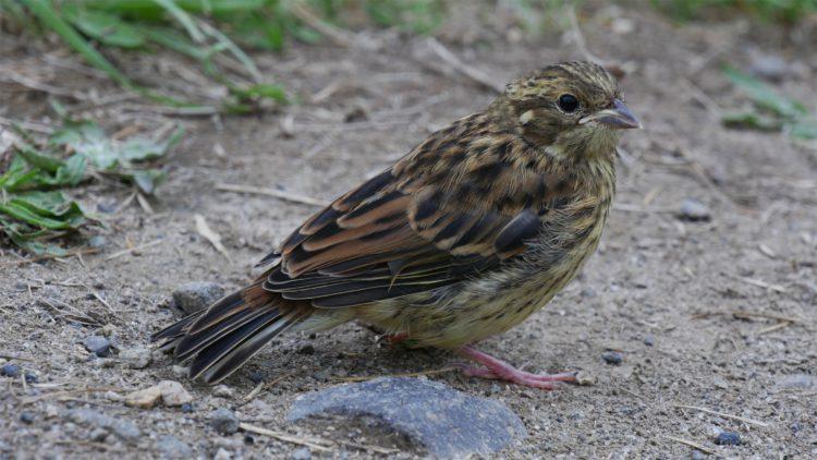 vogel Nieuw-Zeeland