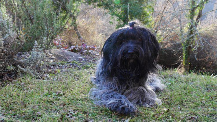 Schapendoes Otje ligt op het gras in de Dordogne
