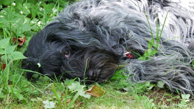 Schapendoes Otje ligt op de grond in het gras