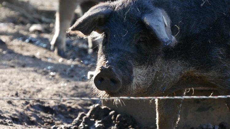 varken staat bij hek