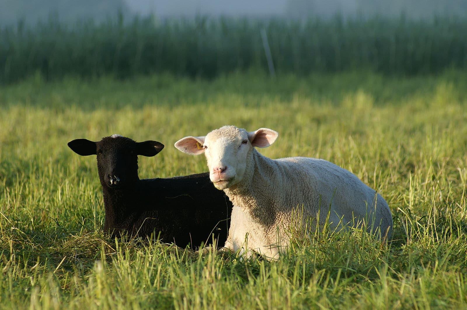 zwart en wit schaap liggend op de grond