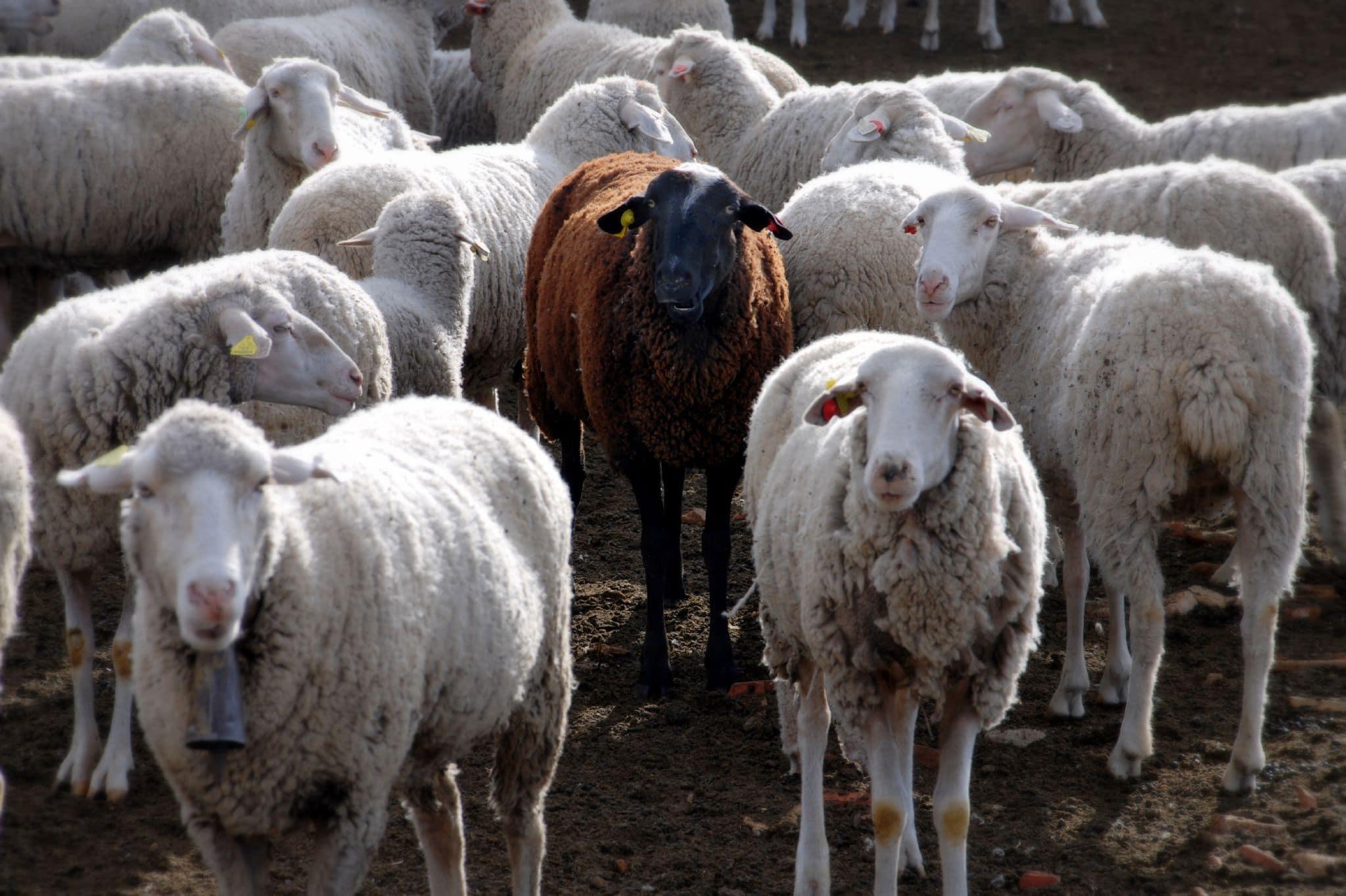 een zwart schaap staand tussen veel andere witte schapen