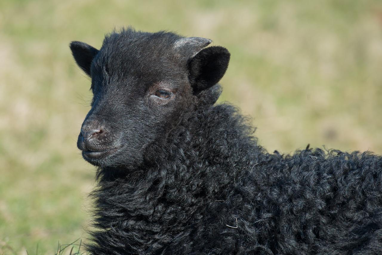 zwart klein schaap